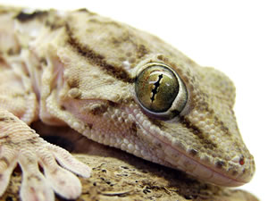 Adopting Exotic Pets At Home - Gecko